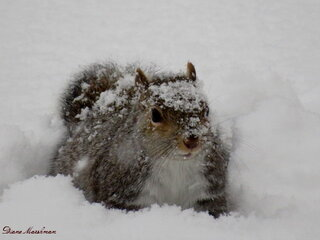 Squirrel dashing thru the snow