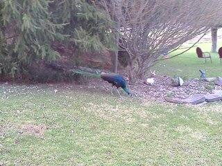 Peacock in Apalachin