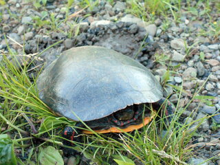 Egg laying Painted Turtle