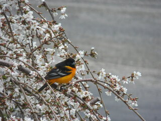 My first Oriole this spring