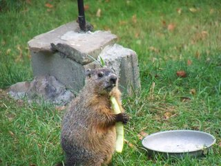 Baby woodchuck eating at bird feeder