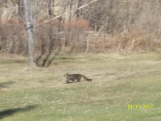 Large Cat seen in West Windsor