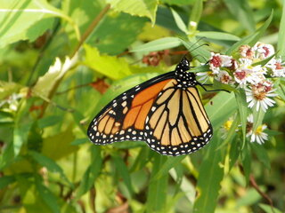 My 1st Monarch