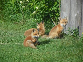 Red Fox Family Update