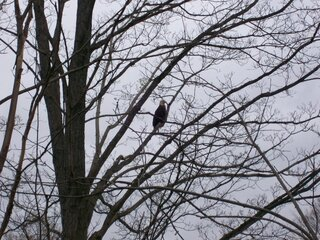 bald eagle in Maine Ny