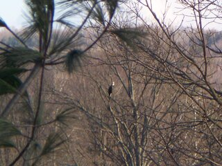 Bald Eagle Seen in Maine, NY