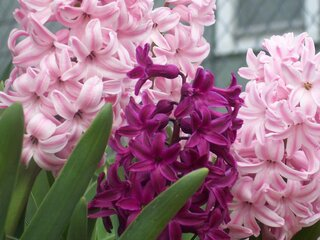 Hyacinth in March!
