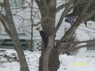 Pileated Woodpecker makes a Visit .