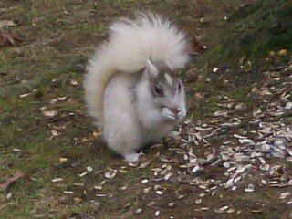 White squirrel in Endwell..very cool