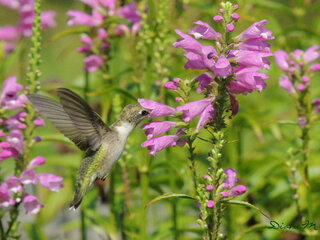 Hummingbird in flower