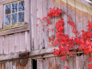 Barn and Virginia Creeper