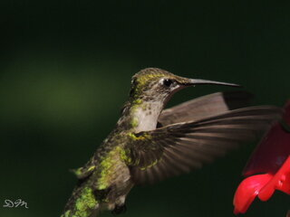 Hummingbird coming in for a drink