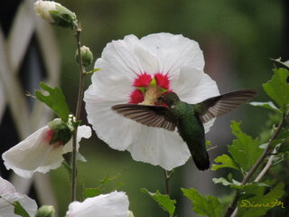 Hummingbird on hibiscus flower
