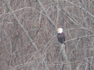 Bald eagle along Susquehanna