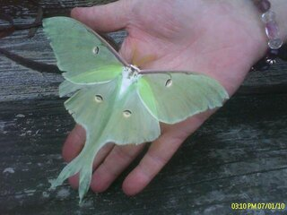 Large lunar moth