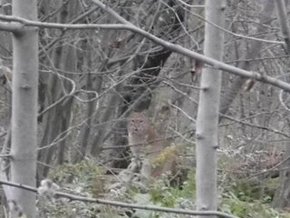 We seen a bobcat