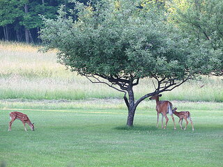 Fawns are Getting Big