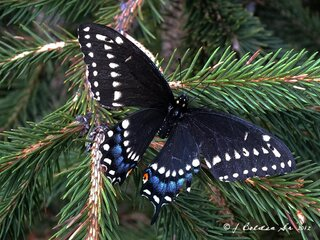 Black Swallowtail Beauty