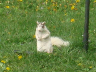 White Squirrel in Endwell