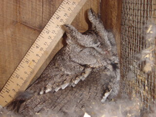 screech owl snoozing in duck house