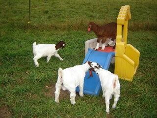 Playtime On the Goat Farm