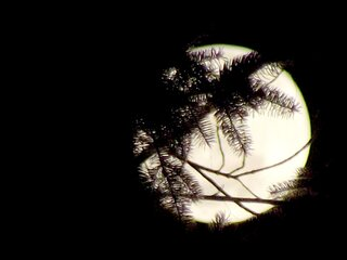 Pine Trees Hiding the Moon