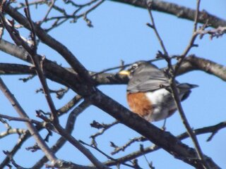 Spring Robins Return!