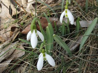 Snowdrops Blooming in Oxford