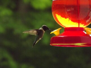 Back yard Humming Bird