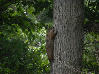 Daredevil Woodchuck Climbs Trees!