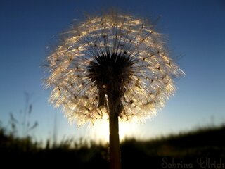 Sunset and Dandelion Fluff