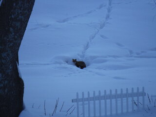 Little Red Fox hanging near her den.
