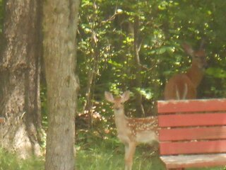 Fawn and Mom getting cool in the shade