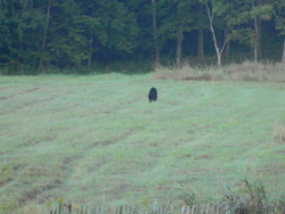 Bear In Our Field