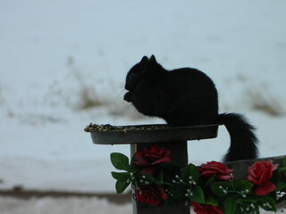 Lucky Black squirrel