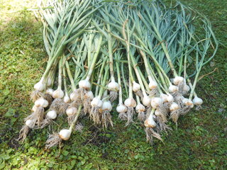 Fresh Garlic From the Garden!!