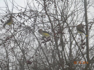 Flock of Cedar Waxwings