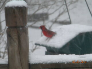 This cardinal is looking for spring.