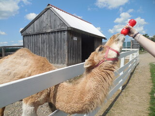 Thirsty Camel at Animal Adventure