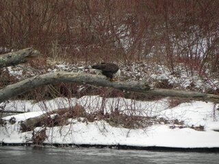 Bald Eagle snacking.