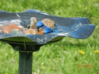 Even bluebirds love the warm temps