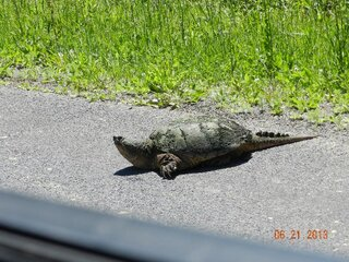 Huge Snapping Turtle Crossing Rd