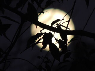 Harvest Moon  through the trees.