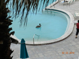 PELICAN IN POOL