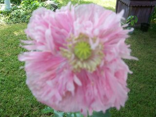 A Beautiful Poppy!