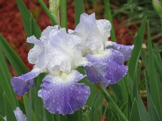 Drenched Iris