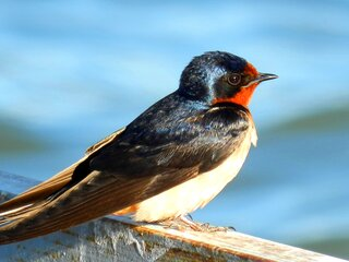 Barn Swallow in Morning Sun