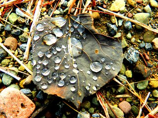 Poplar Leaf and Raindrops