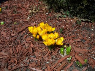 Spring is here! Here come the crocuses!