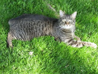 Missing Tiger cat w/no tail green collar